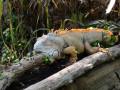 Gruener-Leguan