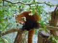 Kleiner-Panda
