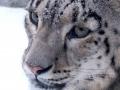 irbis, snow leopard