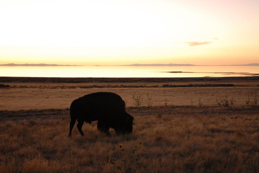 Bison am Great Salt Lake in Utah Bild: H. Werning