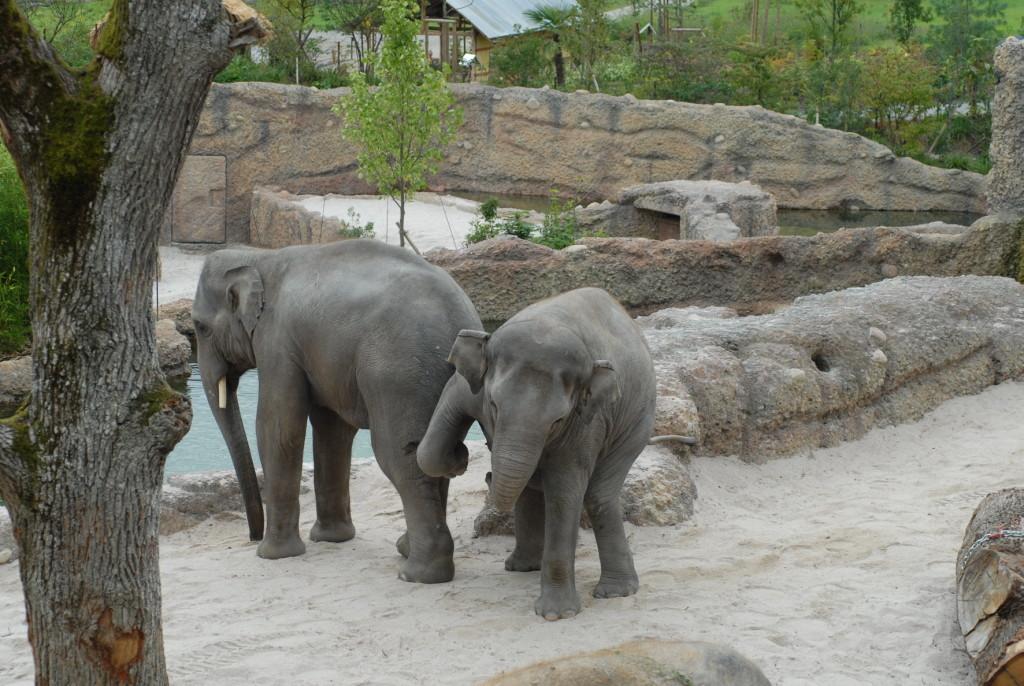 Die Asiatischen Elefanten Thai und Farha erkunden ihre neue Anlage. Bild: Zoo Zürich S. Weber