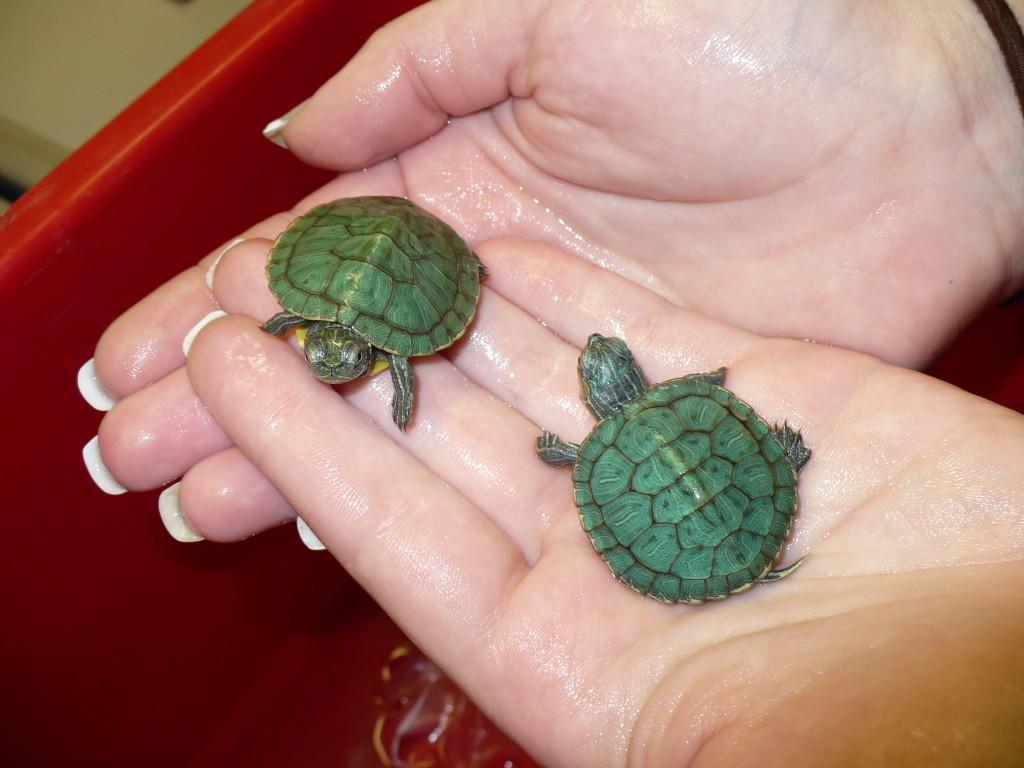 Vom Zoll beschlagnahmte Schmuckschildkröten
