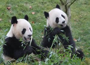 Yuan Zi  und Huan Huan lassen sich den Bambus schmecken Bild: ZooParc de Beuval