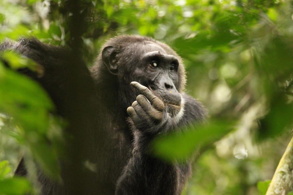 Schimpanse alt | Bild: W. Rietschel