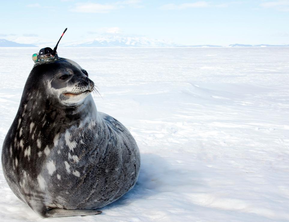 Robben werden mit kleinen Sendern ausgestattet und sammeln so wichtige Daten. Bild: Dan Costa - NMFS 87-1851-03