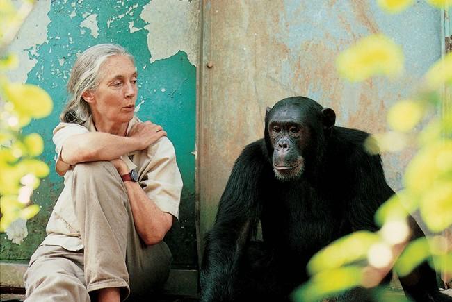 Mehr als 300 Tage im Jahr ist Jane Goodall weltweit unterwegs, um über Schimpansen und ihre Bedrohung zu berichten Bild: M. Neugebauer, JGI
