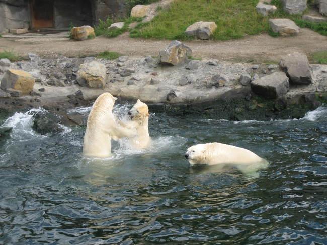 Spielende Eisbären im Zoo Hannover Bild: N. Warth