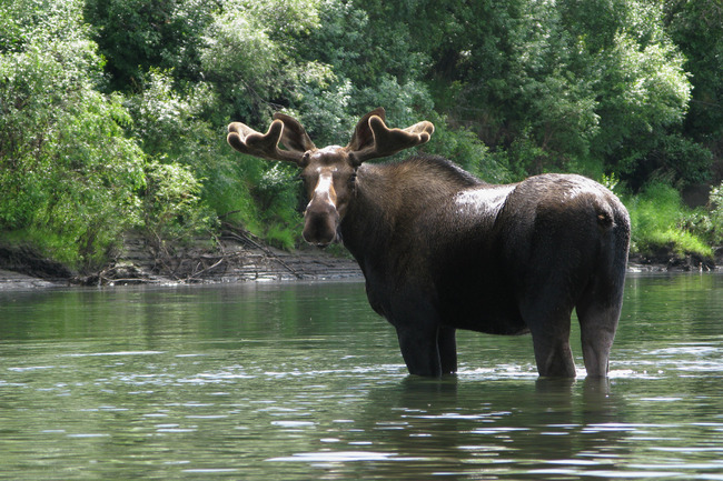 Neugieriger Elchbulle am Bell River Bild: W. Steinberg