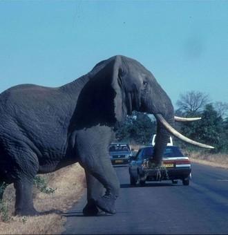 Elefant im Krüger-Nationalpark Bild: U. Schürer