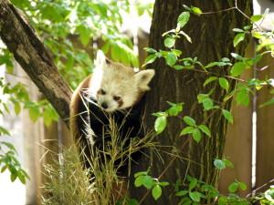 Kleiner Panda Bild: M. Schmierer