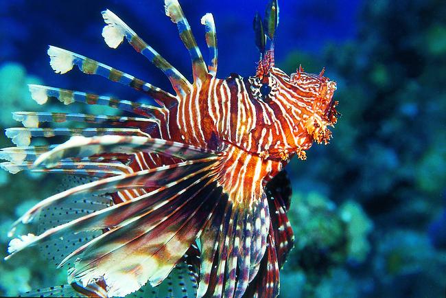 Eine Schönheit des Meeres: der Rotfeuerfisch Bild: I. Koch