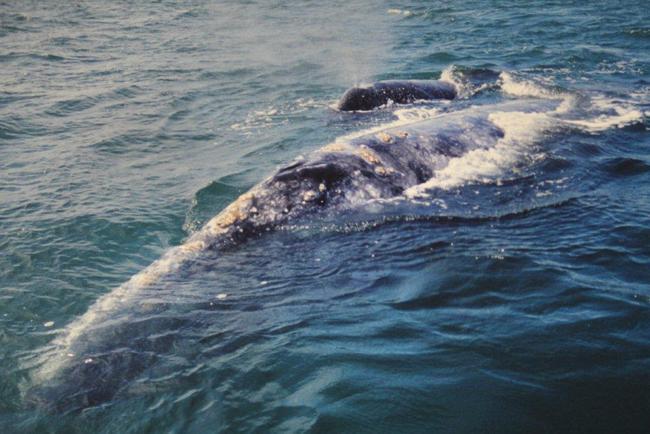 Grauwalmutter mit Jungtier Bild: D. Bügel