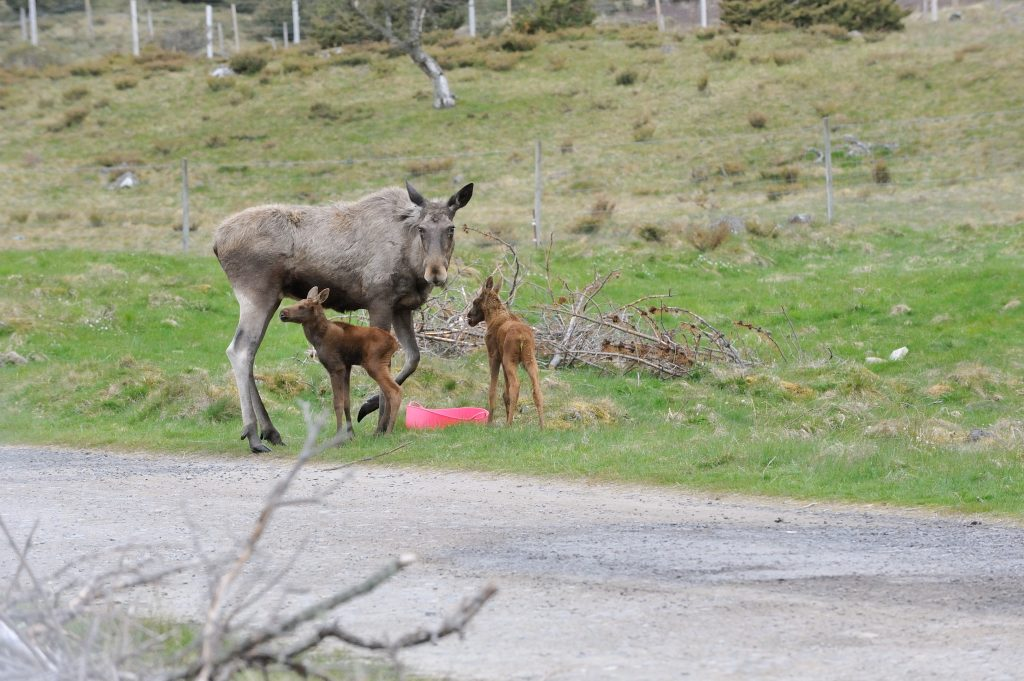 highland-park_elch