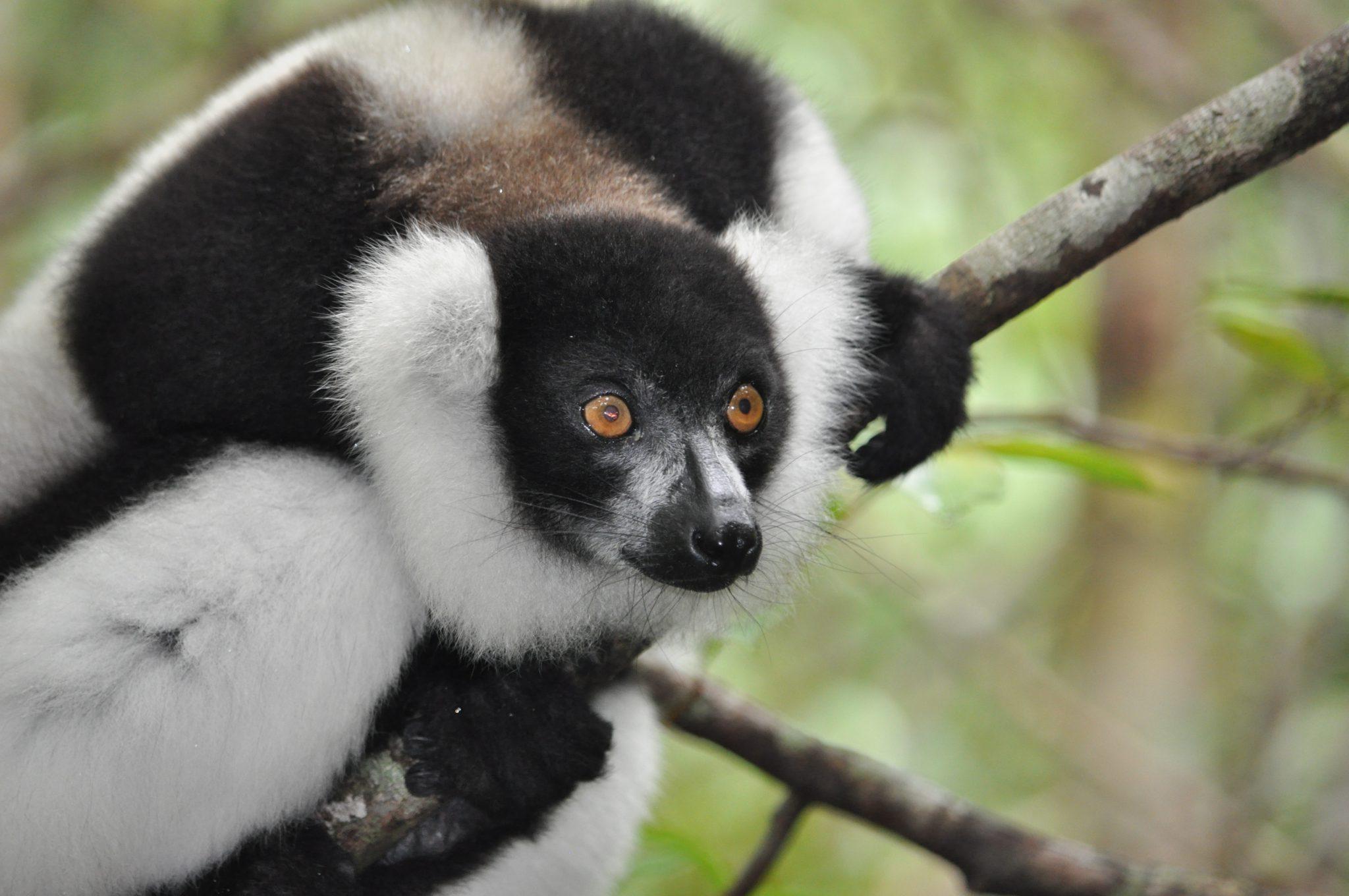 lemur_zintz