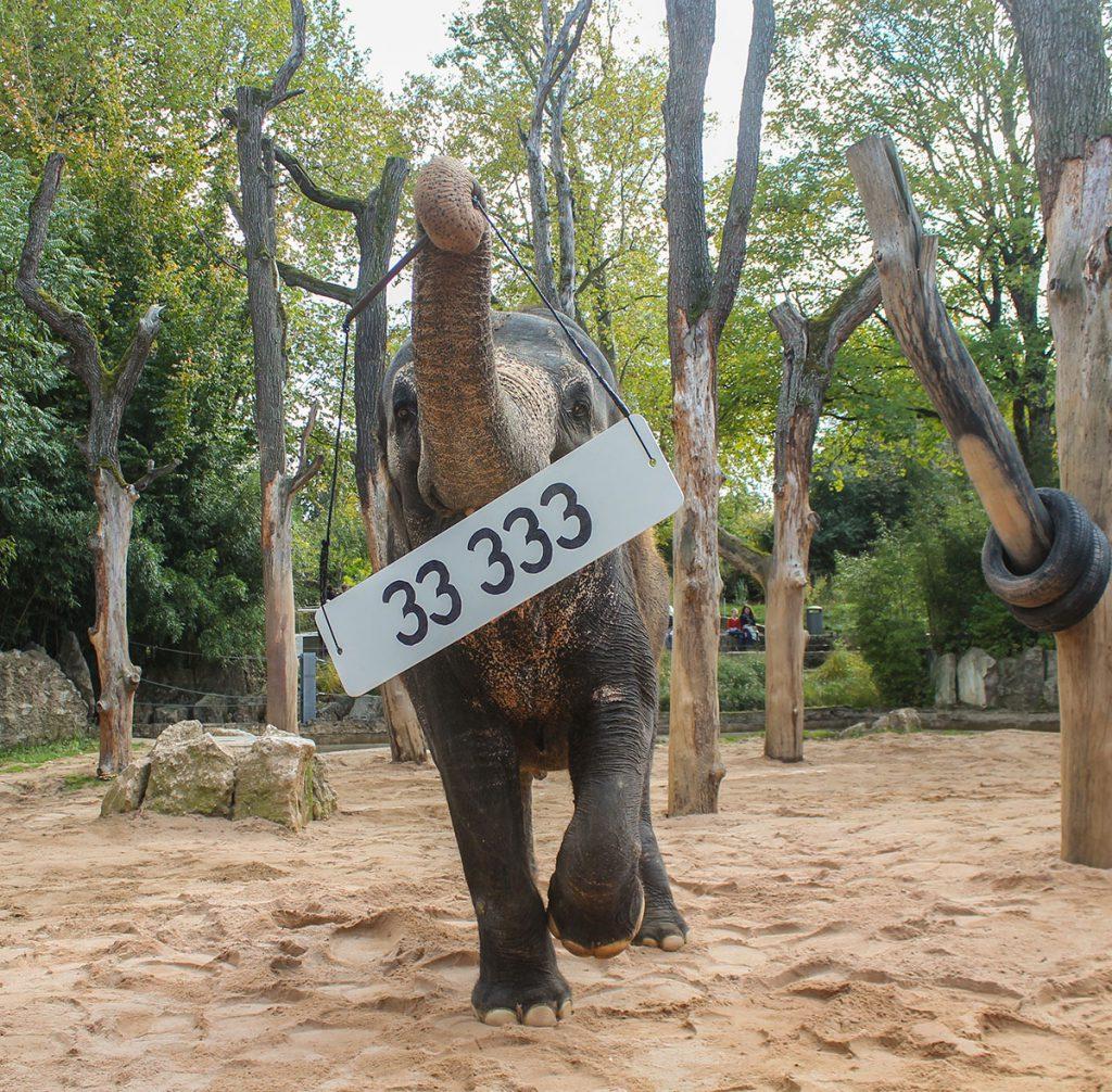 Elefantenkuh Zella präsentiert das Schild für das 33.333. Mitglied des Vereins der Freunde und Förderer der Wilhelma in Stuttgart am 11. Oktober 2017.